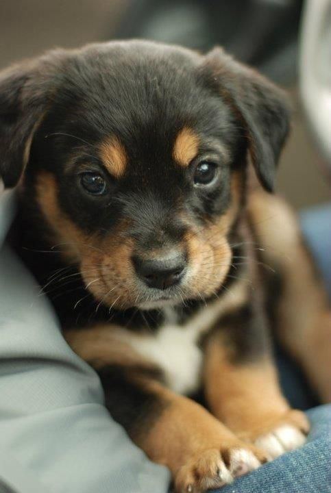 Black And Brown Puppy Pictures, Photos, and Images for ...