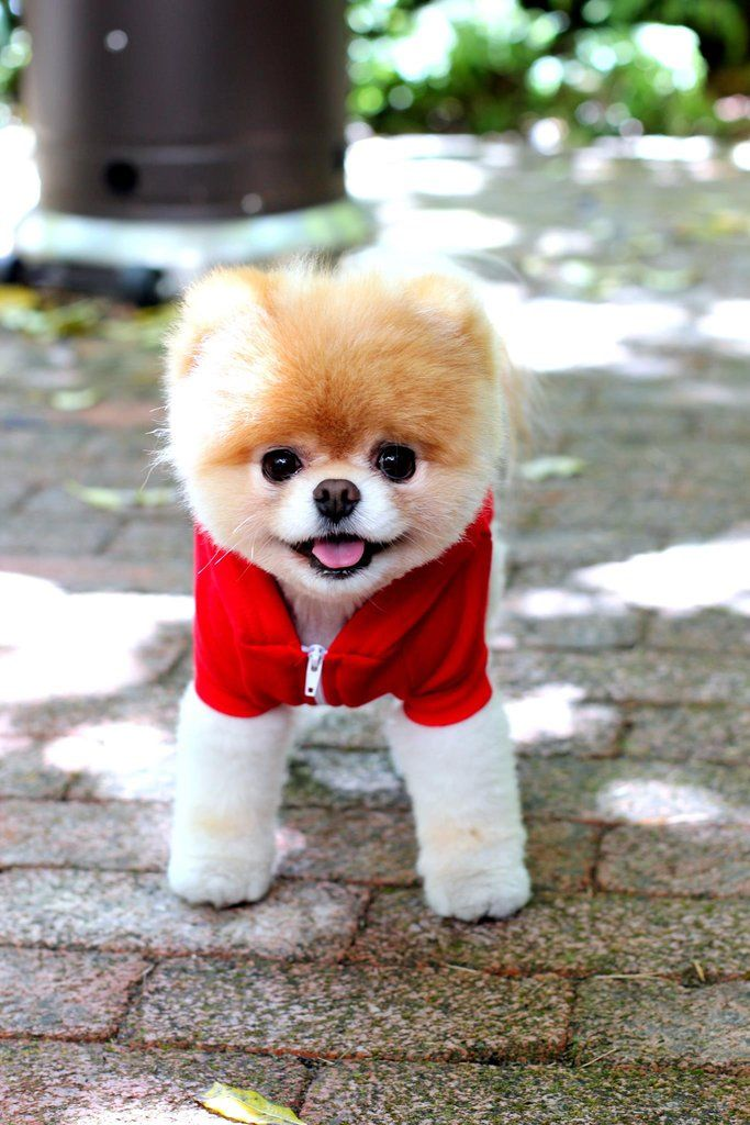 Cute Pomeranian Pictures, Photos, and Images for Facebook, Tumblr ...