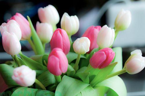 cute tulips pink flowers - photo #18