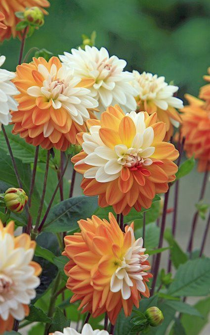 Beautiful Orange & White Dahlias Pictures, Photos, and