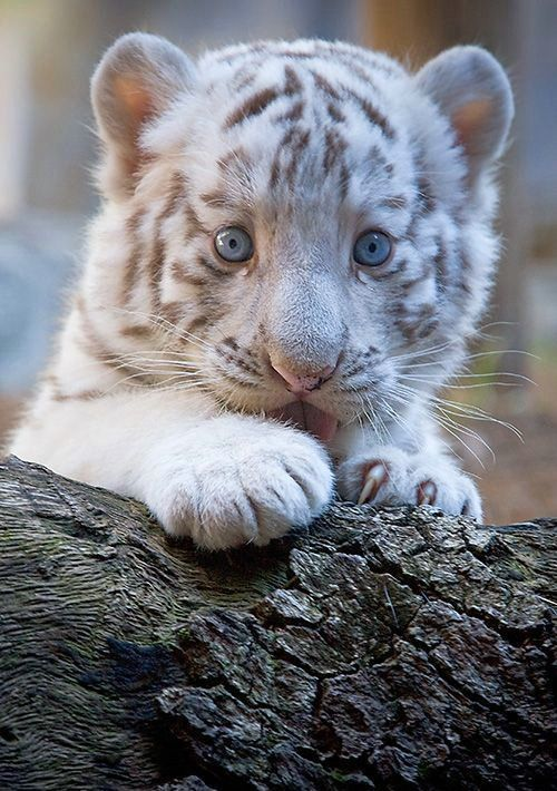 Baby Bengal Tiger Pictures Photos And Images For