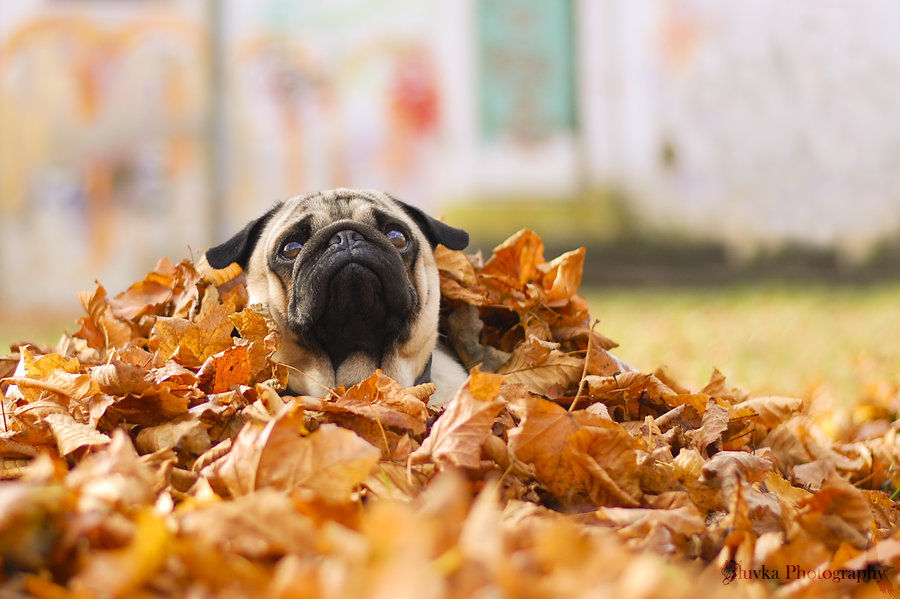 Pug In A Pile Of Leaves Pictures Photos And Images For