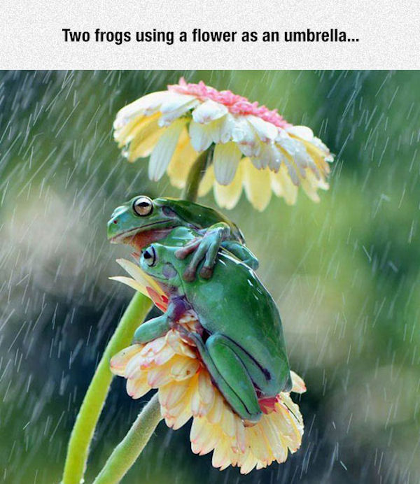 http://www.lovethispic.com/uploaded_images/198905-Two-Frogs-Using-A-Flower-As-An-Umbrella.jpg