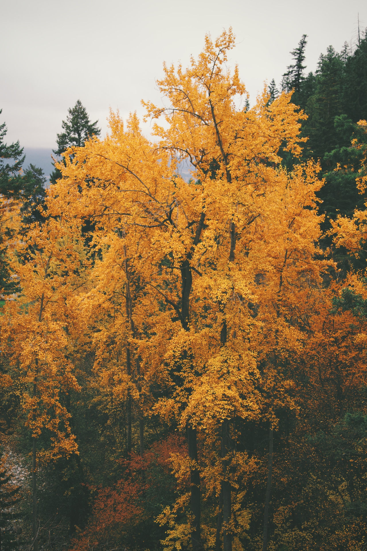 Orange Autumn Tree Pictures, Photos, and Images for