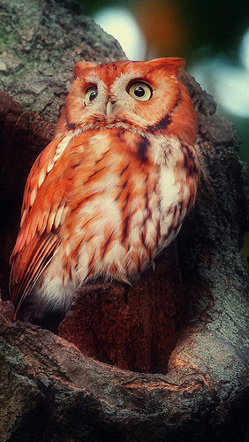 Madagascar Red Owl Pictures Photos And Images For