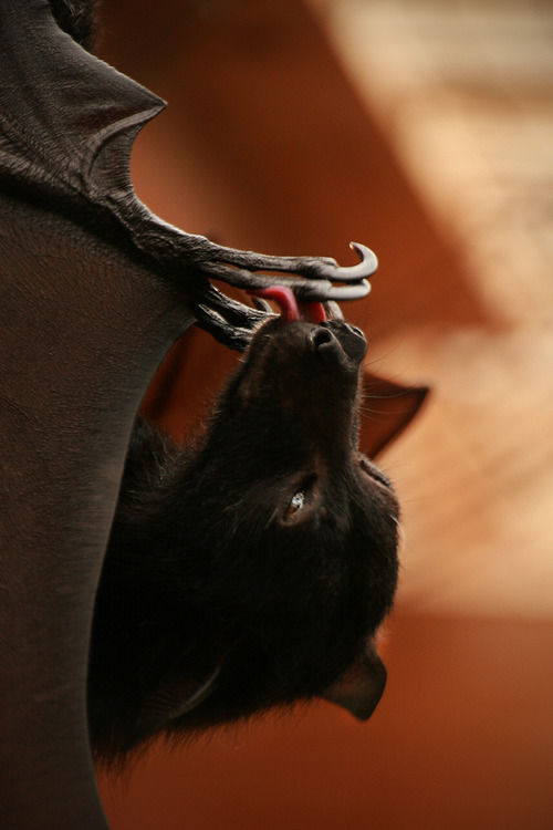 Bat Licking Claws Pictures Photos And Images For
