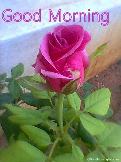 good morning pink rose pictures photos and images for facebook