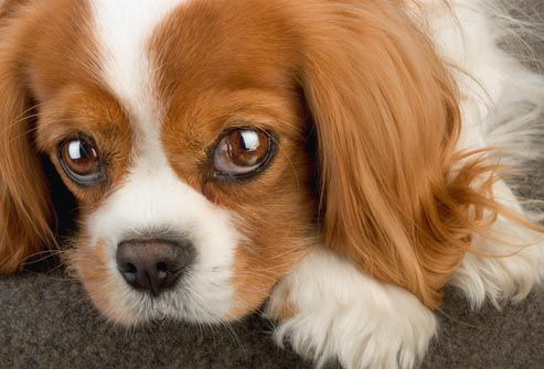 Small Breed Dogs With No Health Problems