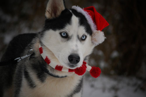 Christmas Husky Dog Pictures Photos And Images For