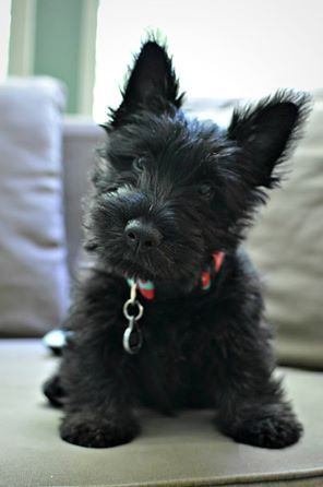 scottie pup pictures photos and images for facebook tumblr