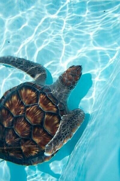 Swimming Sea Turtle Pictures Photos And Images For