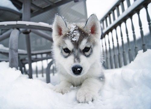 Baby Husky In The Snow Pictures, Photos, and Images for ...