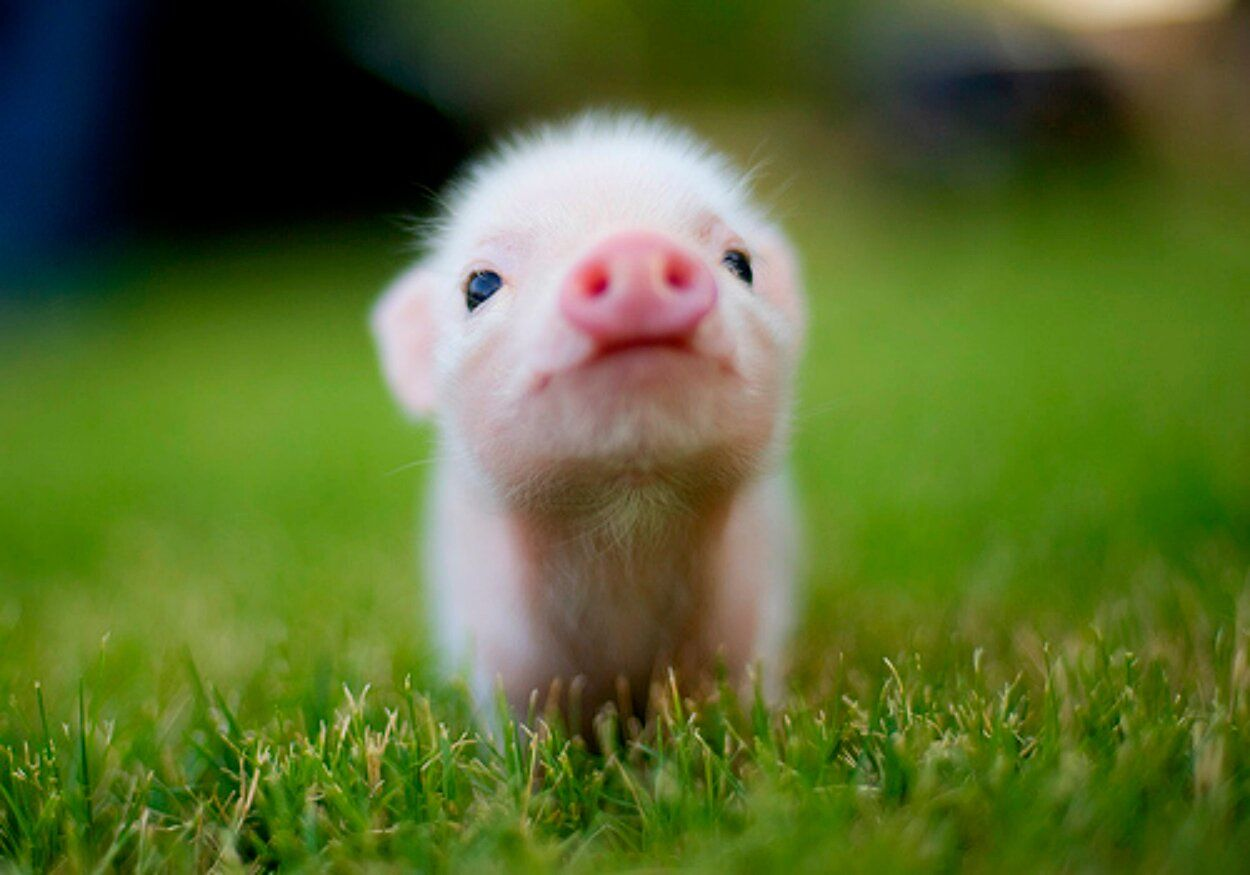 Baby Pigs For Food