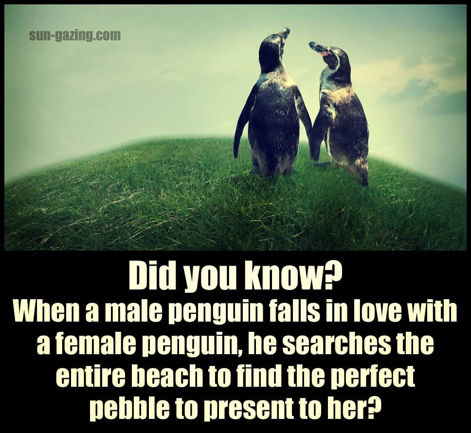 Perfect Love Quotes For Her When A Male Penguin Falls In Love He Searches The Entire Beach To