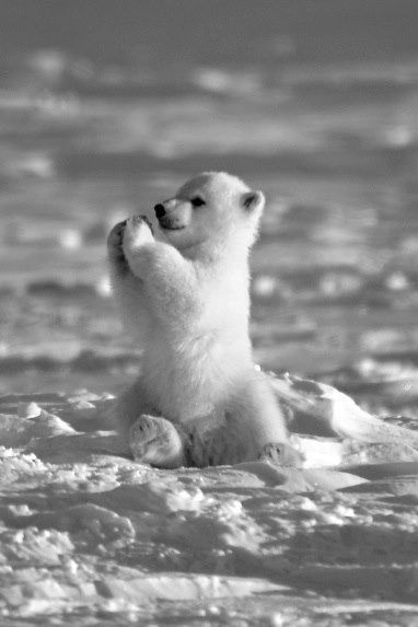 Baby Polar Bear Pictures, Photos, and Images for Facebook ...