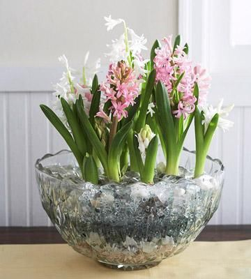Forced Hyacinth Bulbs For Early Spring Blooms Indoors