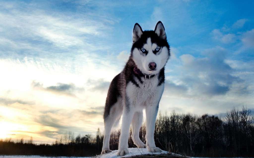 Muito Siberian Husky Pictures, Photos, and Images for Facebook, Tumblr  GV64