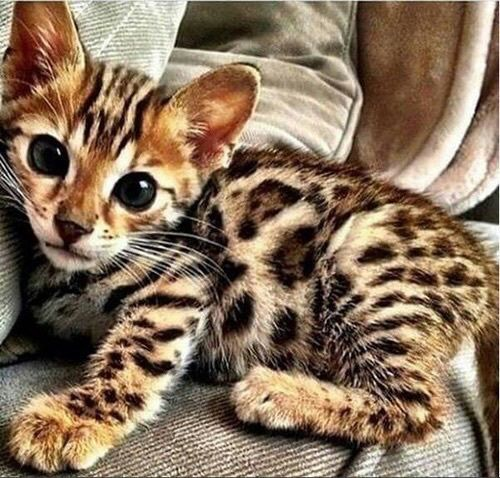 Cute Savannah Cat Pictures, Photos, and Images for