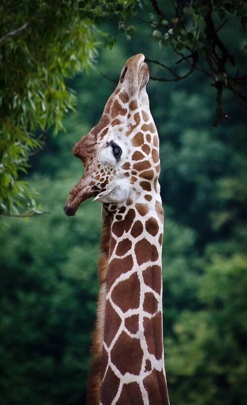 Giraffe Photography Tumblr