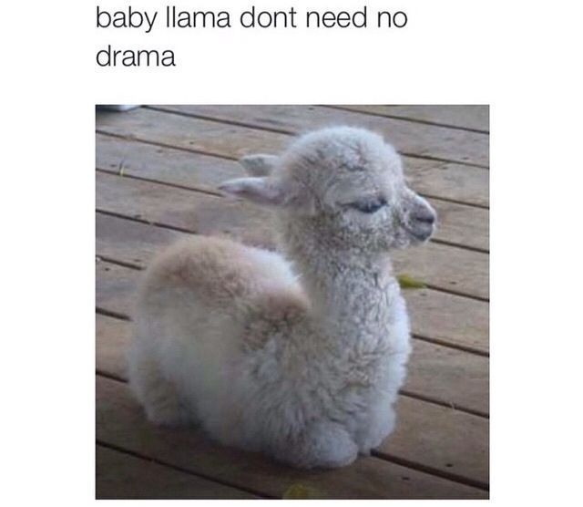Best 25 Baby Llama Ideas On Pinterest: Baby Llama Don't Need No Drama Pictures, Photos, And