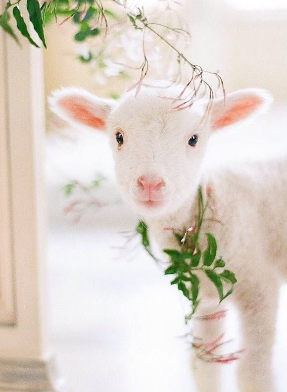 Sweet Lamb Pictures, Photos, and Images for Facebook