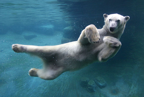Swimming Polar Bear Pictures, Photos, And Images For