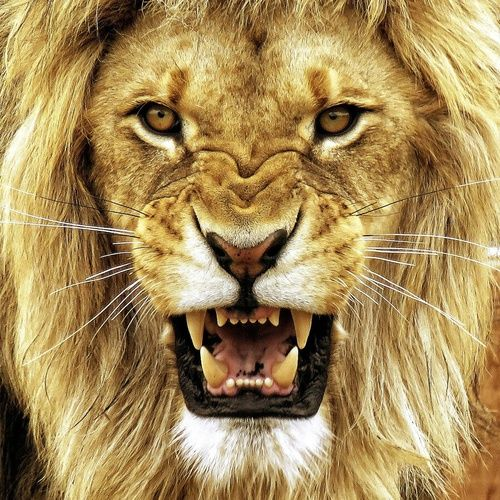 Growling Lion Pictures, Photos, and Images for Facebook