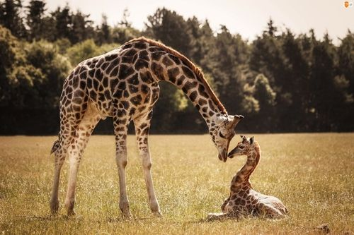 Giraffe And Baby Giraffe Pictures Photos And Images For Facebook