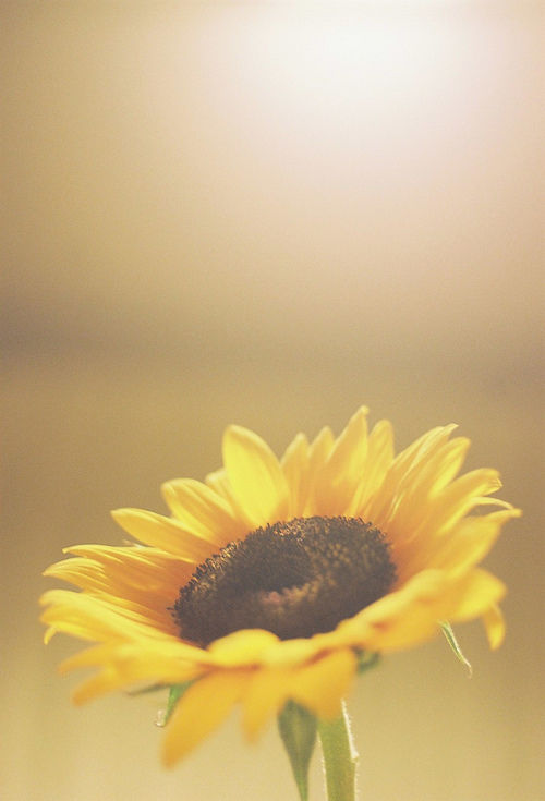 single sunflower pictures, photos, and images for facebook, tumblr, Beautiful flower
