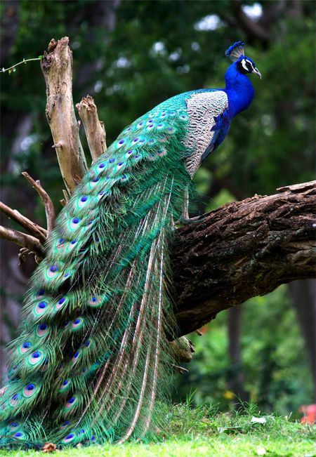 Beautiful Peacock Resting On A Log Pictures Photos And