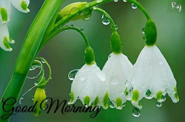 Good Morning Rainy Images: Good Morning Rainy Flowers Pictures, Photos, And Images