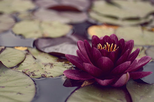 water lotus flower pictures photos and images for