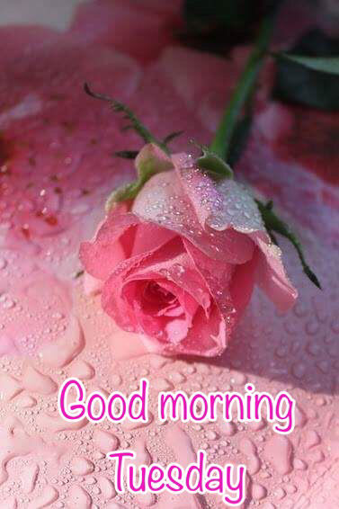 Good Morning Beautiful Pink Roses : Good morning tuesday pink rose pictures photos and