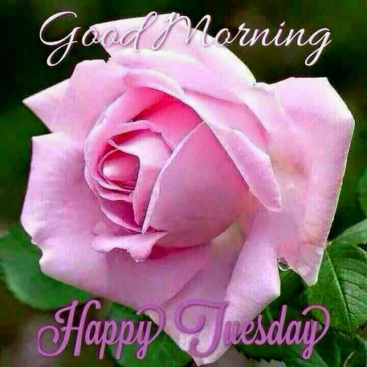Good Morning And Happy Tuesday Rose Pictures, Photos, and Images for  Facebook, Tumblr, Pinterest, and Twitter