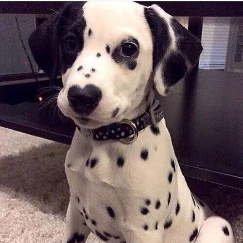 Pictures Images On Pinterest: Dalmation Puppy With Heart Nose Pictures, Photos, And