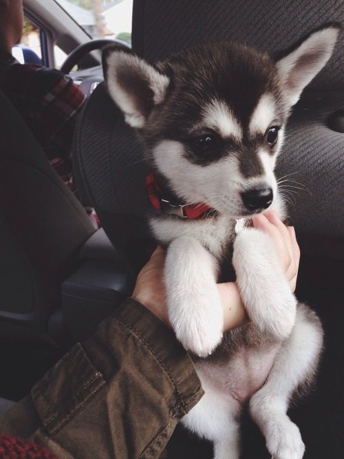 Husky Puppy Pictures, ...
