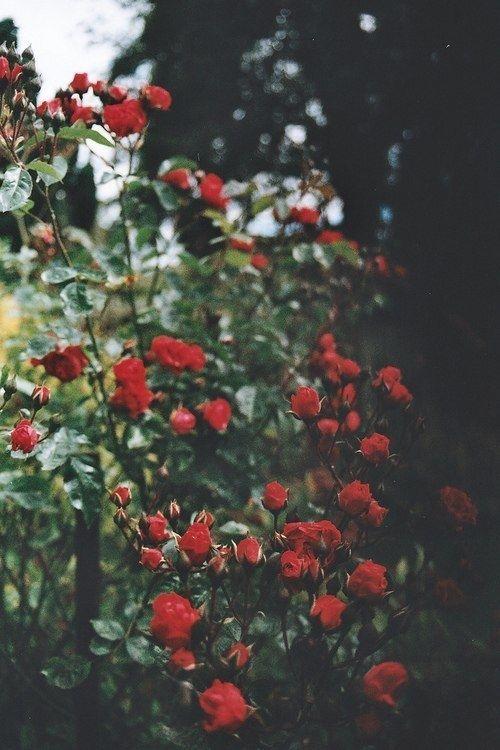 roses flower Wild
