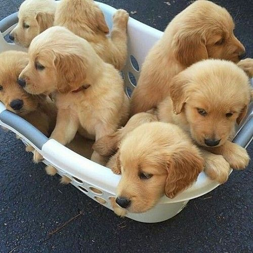 67 Best Trending News Viral Videos Images On Pinterest: Basket Of Puppies Pictures, Photos, And Images For