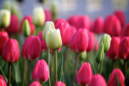 Beautiful Tulip Garden Pictures Photos and Images for