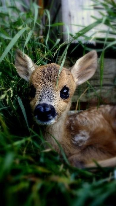 Sweet Baby Deer Pictures Photos And Images For Facebook