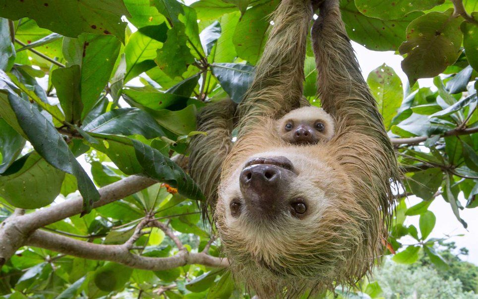 Mom And Baby Sloth Pictures Photos And Images For