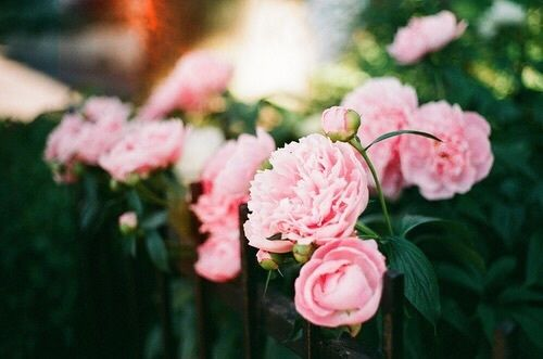 The Pink Peonies pink peonies pictures, photos, and images for facebook, tumblr