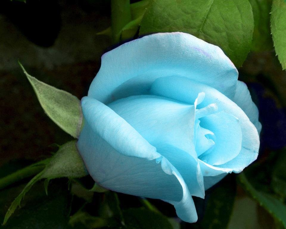 Sky Blue Rose Pictures, Photos, and Images for Facebook ...