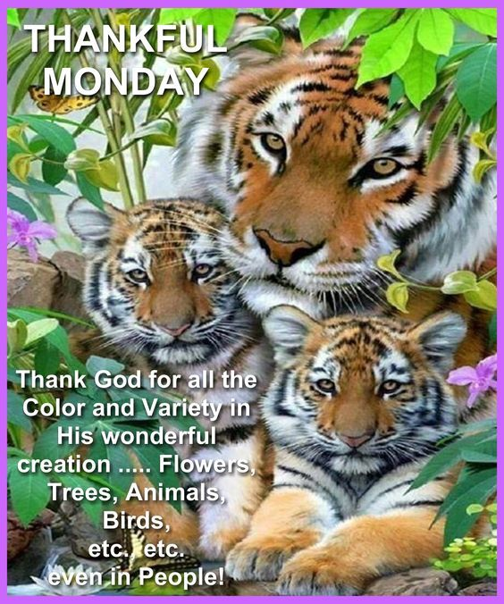 Tiger Thankful Monday Pictures, Photos, and Images for
