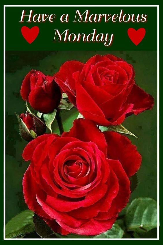 Red Rose Marvelous Monday Pictures Photos And Images For