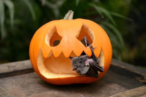 how to draw a bat on a pumpkin