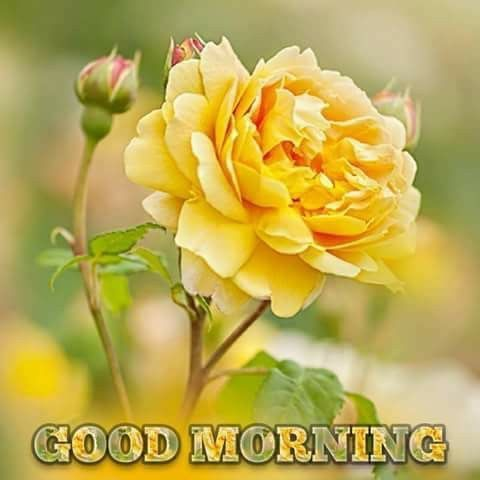 Morning yellow flower pictures photos and images for facebook morning yellow flower mightylinksfo