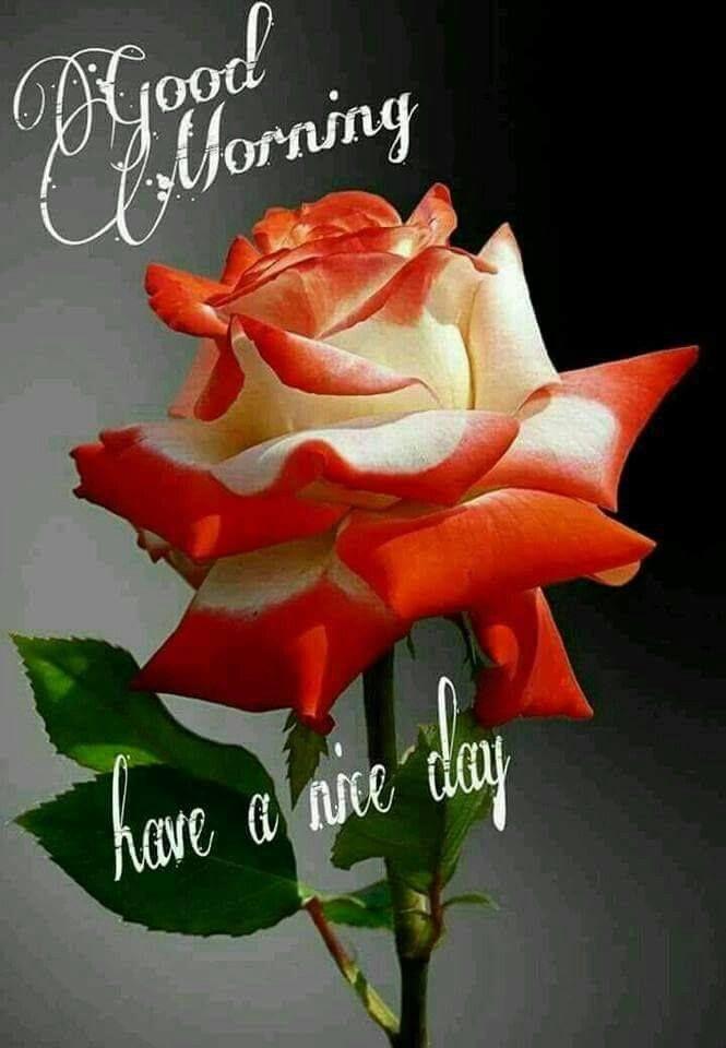 Beautiful good morning rose pictures photos and images - Good morning rose image ...