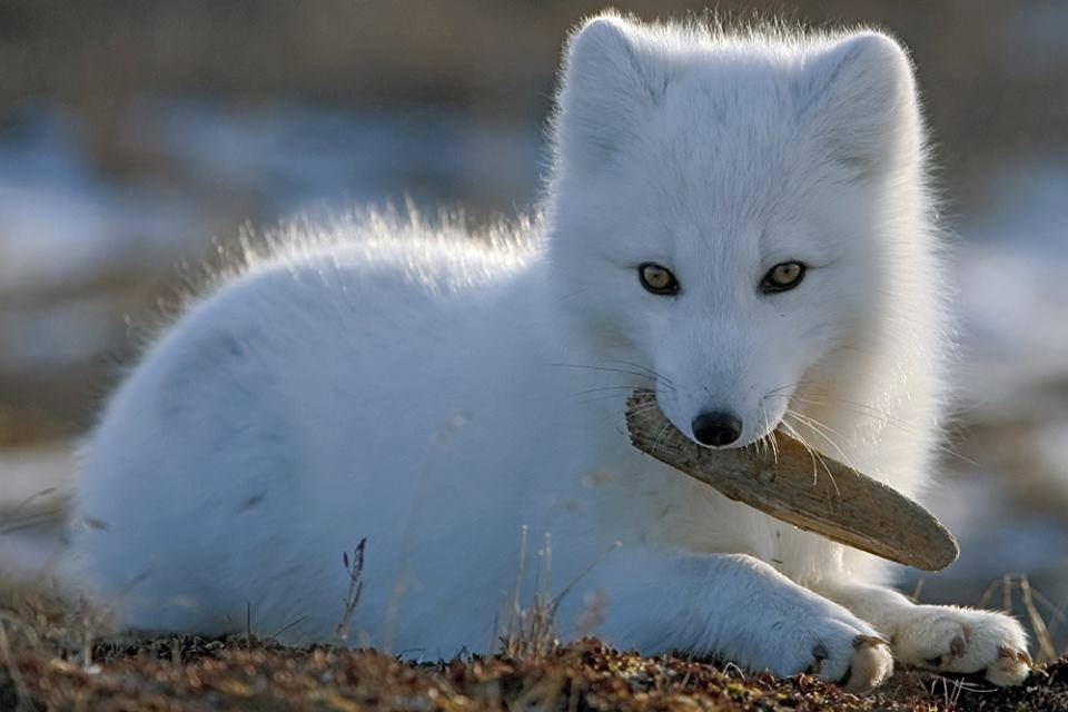 Red Fox or Arctic Fox?