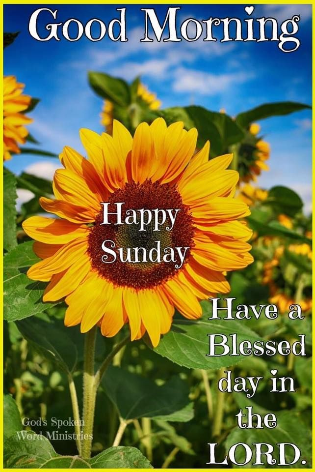 Sunflower Good Morning Sunday Pictures Photos And Images